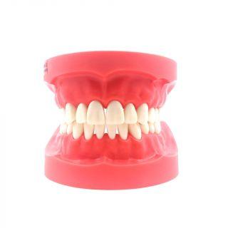 Typodont Jaw - Nissin